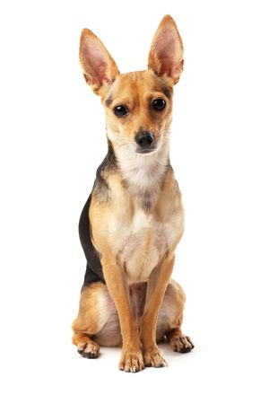 sitting small dog (Russian toy terrier) over white photo