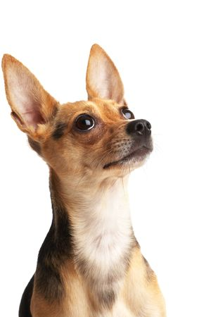 big ear: cute doggy (Russian toy terrier) over white