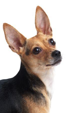 toy terrier: ritratto del cagnolino (giocattolo terrier) isolato su bianco  Archivio Fotografico