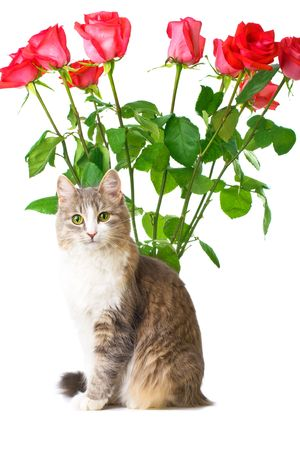 cat with bunch of roses on background isolated on white photo