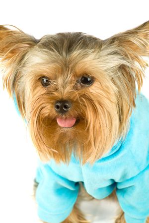 purebred dog (Yorkshire terrier) dressed in jacket isolated on white photo