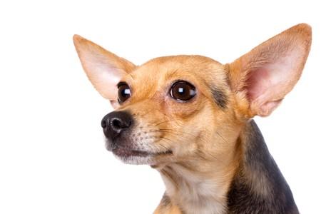 toyterrier: closeup portrait of toy-terrier on white Stock Photo