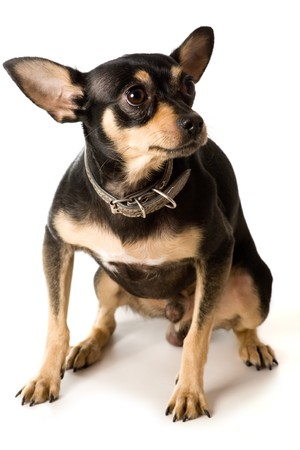 dog ears: scared  toy terrier isolated on white