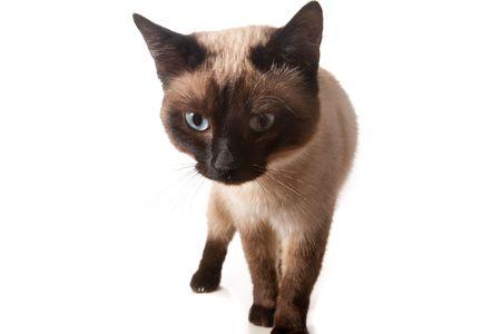 Siamese cat isolated on white photo