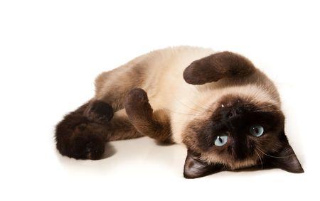 gato jugando: Siamese cat aislado en blanco