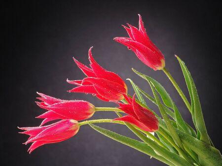 Red tulips on the dark background. Studio photo. Stock Photo