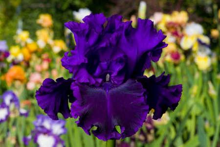 Purple iris on garden background