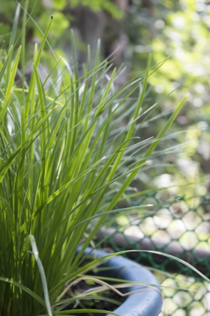 tuberosum:  Allium tuberosum Garlic chives growing on a soil
