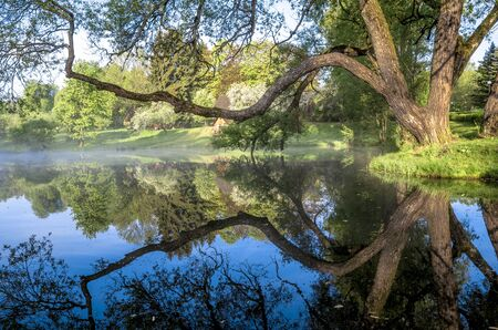 Summer. Early morning. Sunrise. Mirror surface of the pond with a haze of fog. Old willow branches stretched over the water.