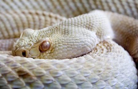 serpiente cobra: Serpiente peligrosa