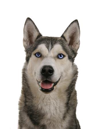 Siberian husky dog isolated on a white background