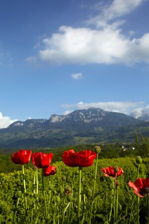 Poppies on a background of the Alpine mountains photo