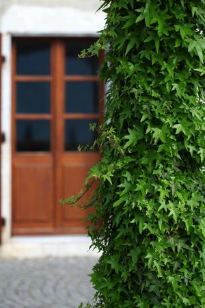 ivy on background door Stock Photo