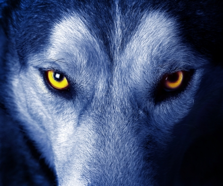 beautiful eyes of a wild wolf photo