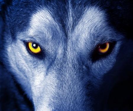 lobo: hermosos ojos de un lobo salvaje