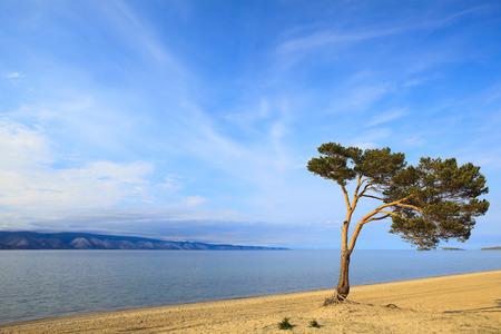 ashore: Lake Baikal. Lonely tree ashore.