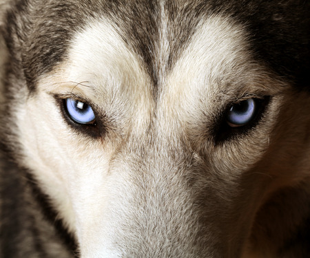 Close view of blue eyes of an Husky or Eskimo dog