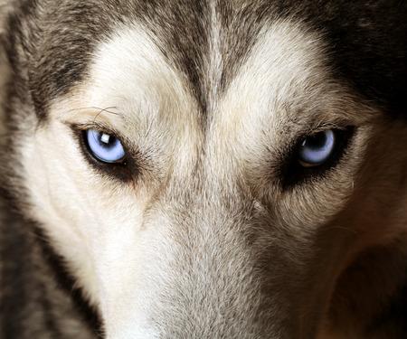 Sluit het oog op de blauwe ogen van een husky of Eskimo hond