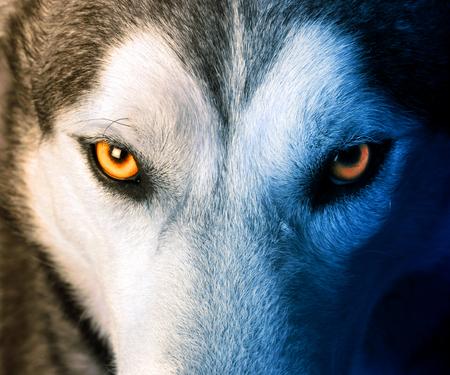 Hermosos ojos de un lobo salvaje