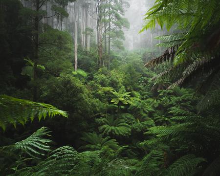 Rainforest in the Ottways National Park, Victoria Australia Stock Photo - 88264667