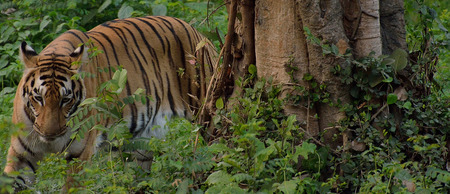 Tiger walking in a forest beside a tree photo