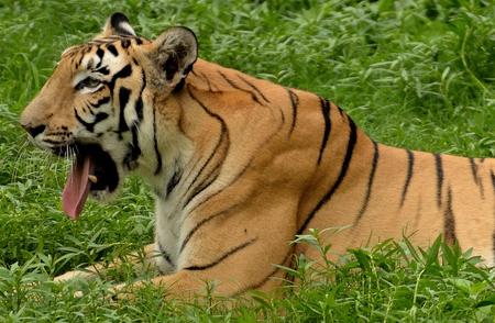 bengal tiger: Bengal tiger yawning