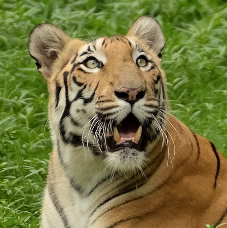 Close-up of a tiger face photo