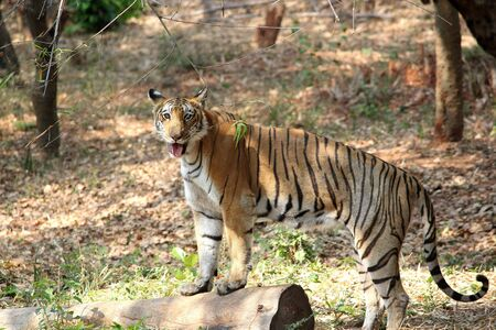 bengal tiger: Bengal tiger standing on a wooden pol