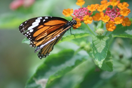 Monarch butterfly collecting honey from flower photo