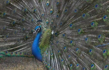 spreads: Peacock spreads his wing Stock Photo