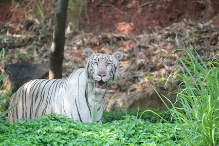 curiously: White tiger inside green grass looking curiously