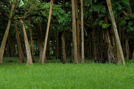tall tree: Tall tree trunks on green grass in a forest Stock Photo
