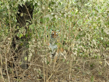 bengal tiger: Bengal tiger looking in deep forest.