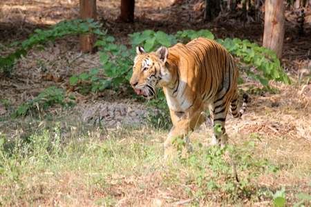 Bengal tiger walking in Indian forest photo