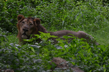 confined space: Lion in green resting in a green forest.