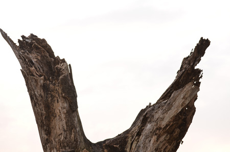 depreciation: Dead tree isolated on white background.