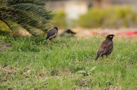 common myna bird: The common myna Acridotheres tristis in a grass.