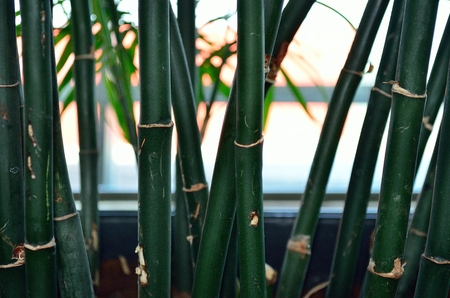 bamboo plant: Closeup of a bamboo plant Stock Photo
