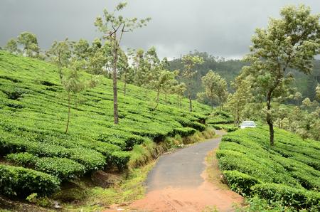 kerala: Tea plantation in Kerala, India