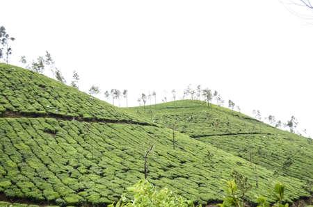 kerala: Tea plantation in Kerala, India. Stock Photo
