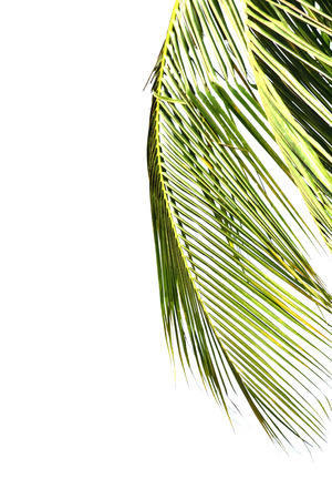 coconut leaves isolated on white
