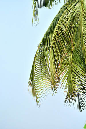 coconut leaves isolated on blue sky Stock Photo