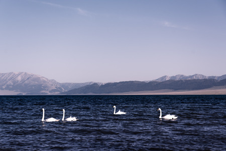 birds scenery: Lake with swans