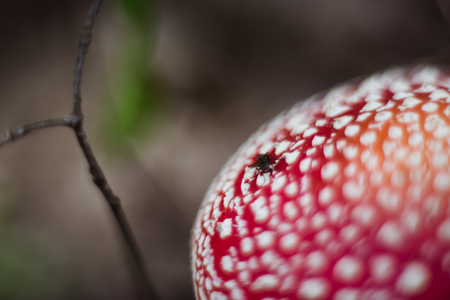 red beautiful mushroom fly agaric growing in the forest close-up