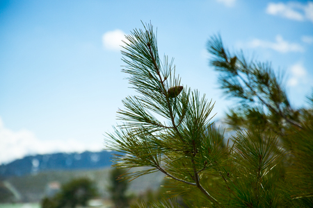 branch of spruce in the mountains of Cyprus, blue cloudy sky Stock fotó