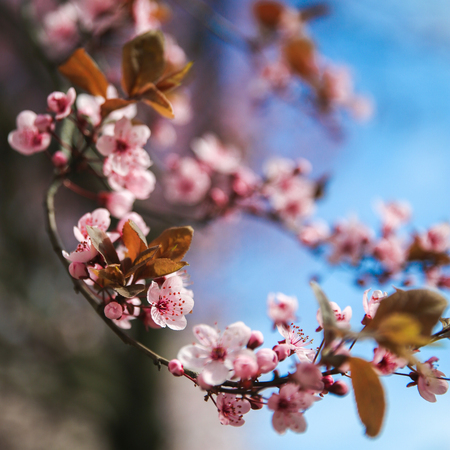 Spring blossom border with pink blooming tree. Beautiful nature scene with flowers on tree and sun flare. Sunny day. Beautiful Orchard. Abstract blurred background. Springtime Фото со стока