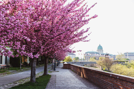 Alley of blossoming plum trees in Buda Castle in Budapest, Hungary. Colorful spring landscape