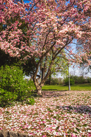 Beautiful pink flower magnolia tree in the Margaret Island - Budapest, Hungary in sunny spring day 版權商用圖片