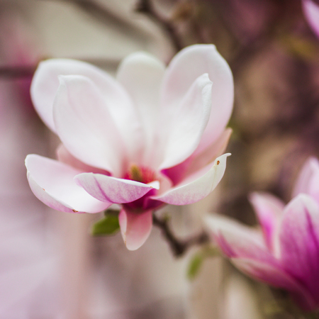 Bloomy magnolia tree with big pink flowers, spring time, close-up