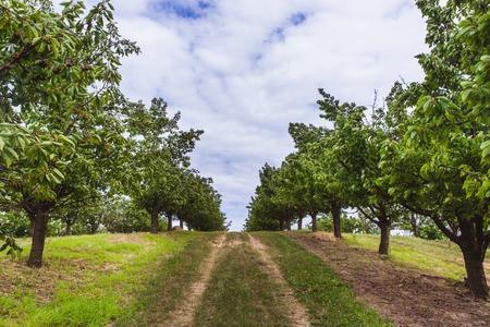 Cerezas maduras rojas y dulces orgánicos en cerezos en huerto a principios de verano, Hungría